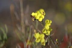 Fleurs jaunes Abeille sur un cresson de terre Orientation molle photos stock
