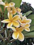 Fleurs jaunes attrayantes de Frangipani ou de Plumeria Image libre de droits