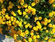 Fleurs jaunes au Liban Image libre de droits