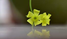 Fleurs jaunes avec la réflexion au printemps Images stock