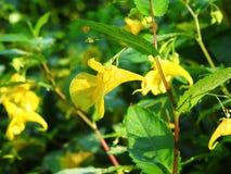 Fleurs jaunes avec la rosée de matin, Lithuanie Photo libre de droits