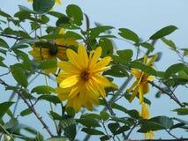 Fleurs jaunes avec les lames vertes images stock