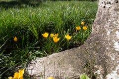Fleurs jaunes avec un tronc d'arbre Photographie stock libre de droits