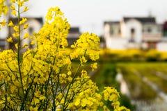 Fleurs jaunes avec un village à l'arrière-plan Photographie stock