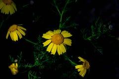 Fleurs jaunes colorées de Coreopsis la nuit Images stock
