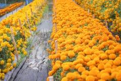 Fleurs jaunes colorées de souci fleurissant dans le jardin ou l'erecta américain de tagetes de souci photo libre de droits
