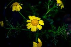 Fleurs jaunes colorées lumineuses de coreopsis la nuit Photographie stock libre de droits