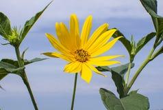 Fleurs jaunes contre le ciel photo libre de droits