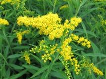 or Fleurs jaunes d'été Photo libre de droits