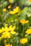 Fleurs jaunes d'été Photographie stock