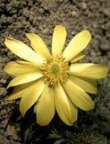 Fleurs jaunes d'Adonis Photos libres de droits