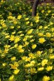 Fleurs jaunes d'adonis Images stock