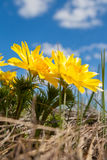 Fleurs jaunes d'Adonis Image libre de droits