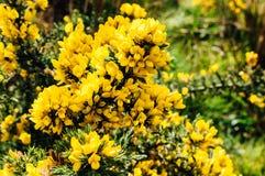 Fleurs jaunes d'ajonc sur un buisson Image libre de droits