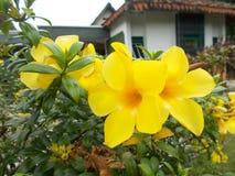 Fleurs jaunes d'allamanda Images libres de droits