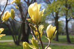 Fleurs jaunes d'arbre de magnolia au printemps Photo libre de droits