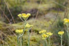 immortelle plante m dicinale de jaune environnement d 39 t image stock image du florescence. Black Bedroom Furniture Sets. Home Design Ideas