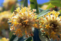 Fleurs jaunes d'Inde occidentale de Ghat Images stock