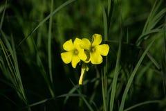 Fleurs jaunes d'isolement Photographie stock libre de droits