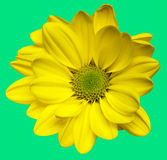 Fleurs jaunes d'isolement de chrysanthemum Image stock