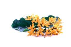 Fleurs jaunes d'Ixora Image stock