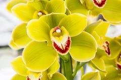 Fleurs jaunes d'orchidée Photographie stock libre de droits