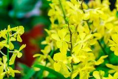 Fleurs jaunes d'orchidées d'Ascocenda décorées à l'airpo de Suvarnabhumi Photos libres de droits