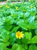 Fleurs jaunes d'usine Photos libres de droits