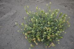 Fleurs jaunes d'usine de lutea de Reseda Photos stock