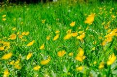 Fleurs jaunes dans la fin d'herbe verte  Photographie stock libre de droits