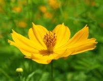 Fleurs jaunes dans la tache floue de fond, bokeh Photos stock