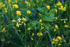 Fleurs jaunes dans le jardin image libre de droits