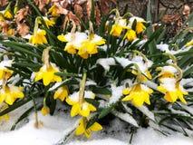 Fleurs jaunes dans le jardin au printemps, couvert dans la neige photos libres de droits
