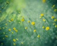 Fleurs jaunes dans le jardin d'agrément et dans le pré Images libres de droits