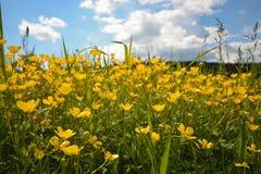 Fleurs jaunes dans le pré avec des nuages comme fond Photographie stock
