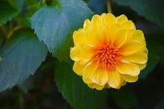 Fleurs jaunes dans les jardins par la baie Photo libre de droits