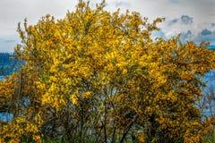 Fleurs jaunes de balai écossais photographie stock libre de droits