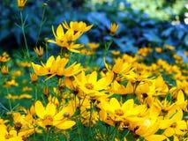 Fleurs jaunes de beauté image libre de droits