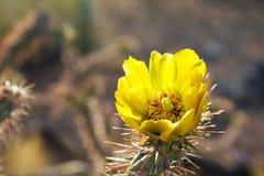 Fleurs jaunes de cactus ou de Saguaro Photos libres de droits