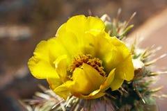 Fleurs jaunes de cactus ou de Saguaro Images stock