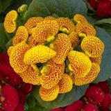 Fleurs jaunes de calcéolaire Photos libres de droits