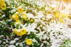 Fleurs jaunes de camomille avec les feuilles vertes couvertes de neige images libres de droits