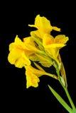 Fleurs jaunes de Canna Photographie stock libre de droits