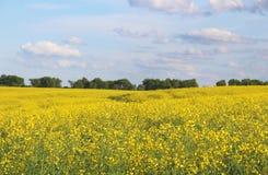 Fleurs jaunes de Canola sur le champ Images libres de droits