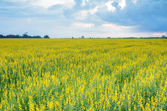 Fleurs jaunes de champ de Crotalaria belles et ciel nuageux Photos stock
