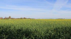 Fleurs jaunes de champ de moutarde dans le printemps photographie stock libre de droits