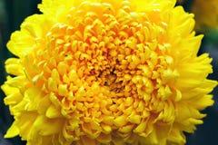 Fleurs jaunes de chrysanthème sur le fond foncé Les grands chrysanths magiques vibrants jaunes fleurissent haut étroit Photos libres de droits