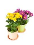 Fleurs jaunes de chrysanthemum Image libre de droits