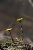 Fleurs jaunes de coltsfoot de ressort Photo stock