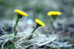 Fleurs jaunes de coltsfoot de ressort Images stock